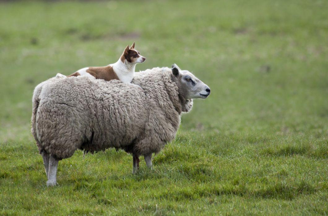 sheep dog prairie wallpaper
