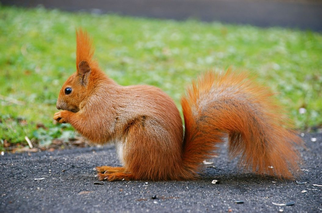 tail animal red squirrel wallpaper
