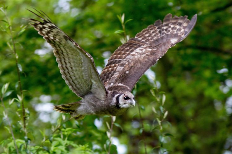 wings owl bird flying branches wallpaper