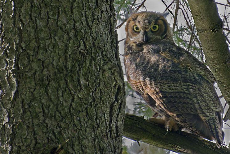 Birds Owl g wallpaper