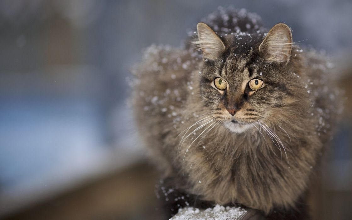 Cats Glance Snow Fluffy Animals wallpaper