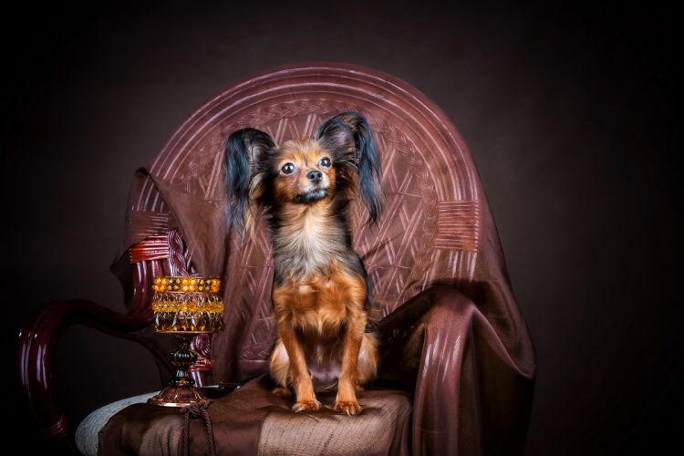 Dogs Russian toy terrier Armchair Animals wallpaper