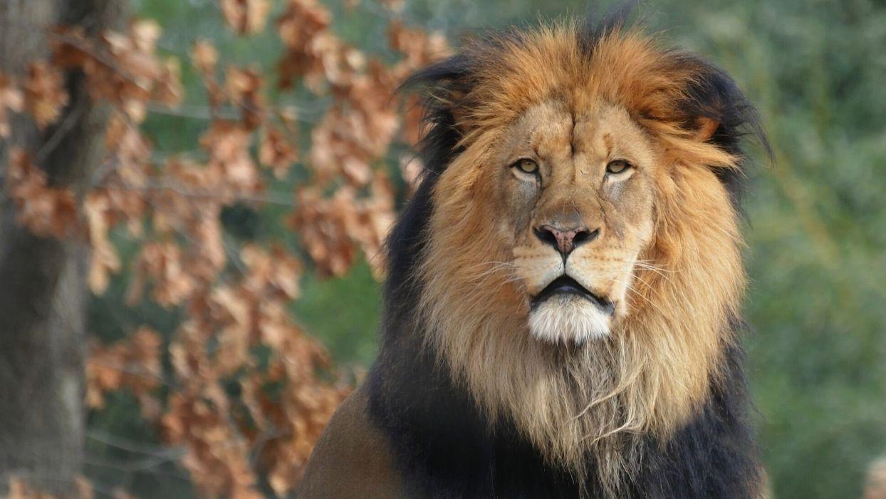 Lion  fs wallpaper