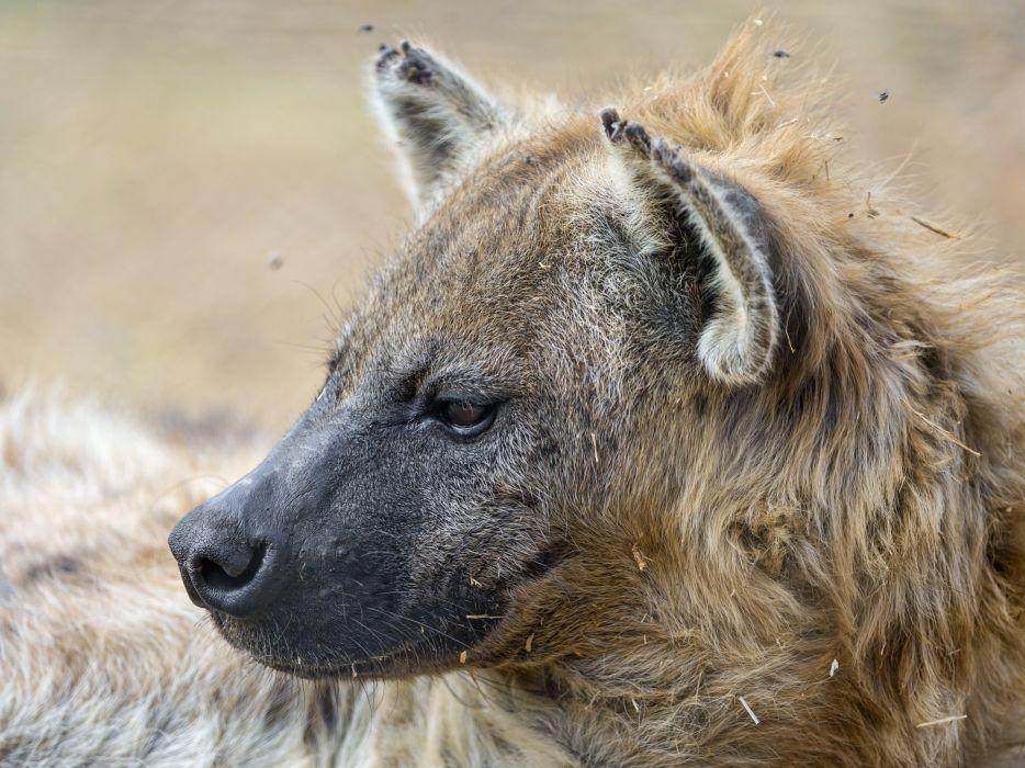 Hyena wallpaper