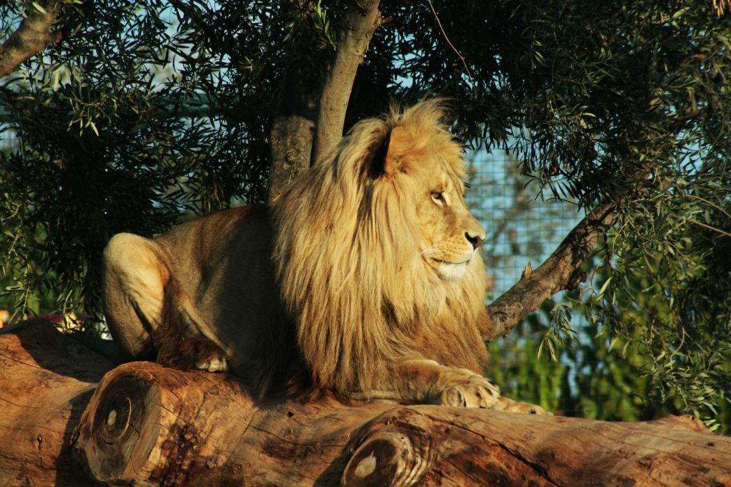 Lion f wallpaper