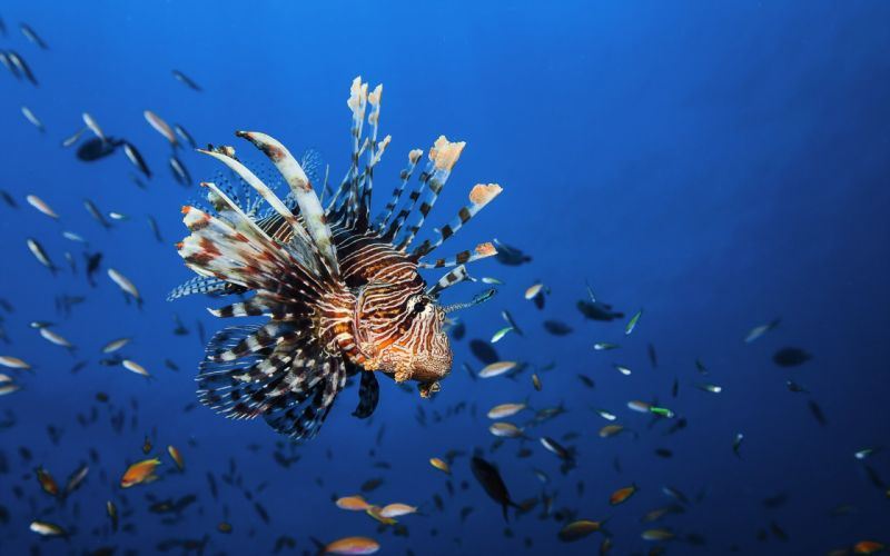 Underwater world Fish lionfish Animals wallpaper