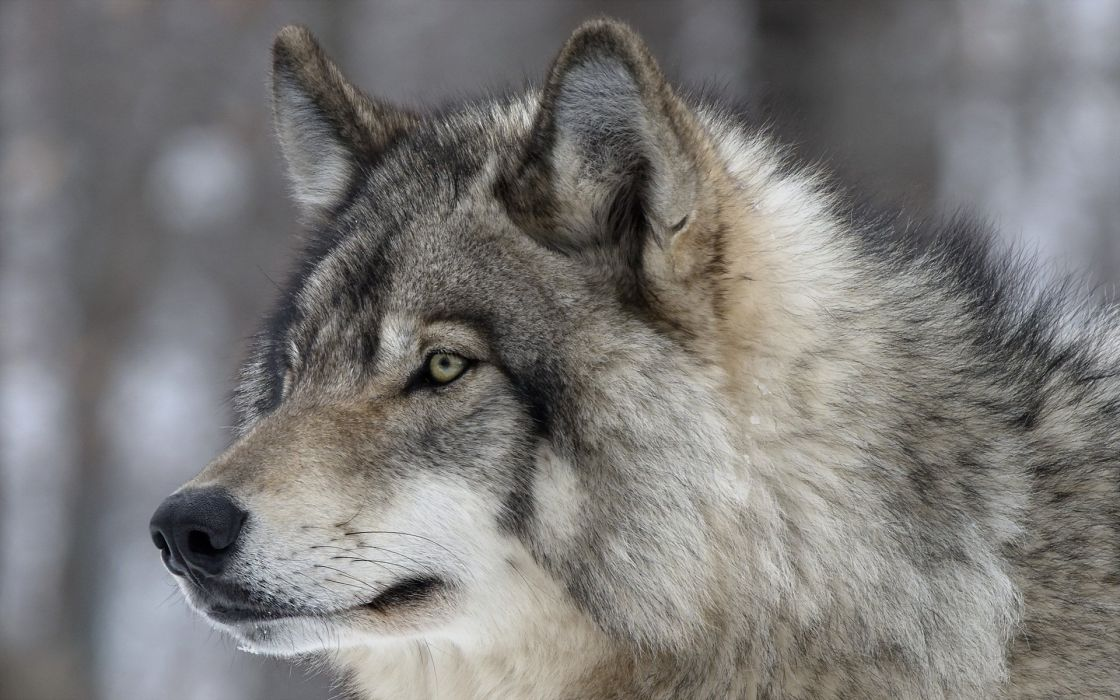 Wolves Glance Snout Animals wolf wallpaper