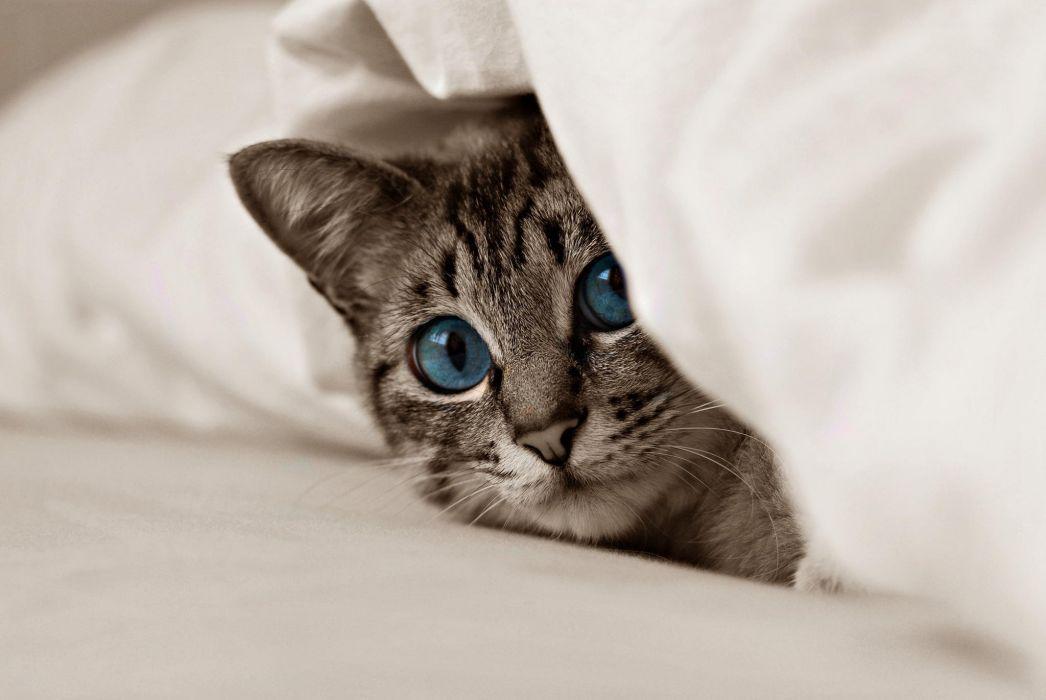 cat kitten blue eyes eyes wallpaper