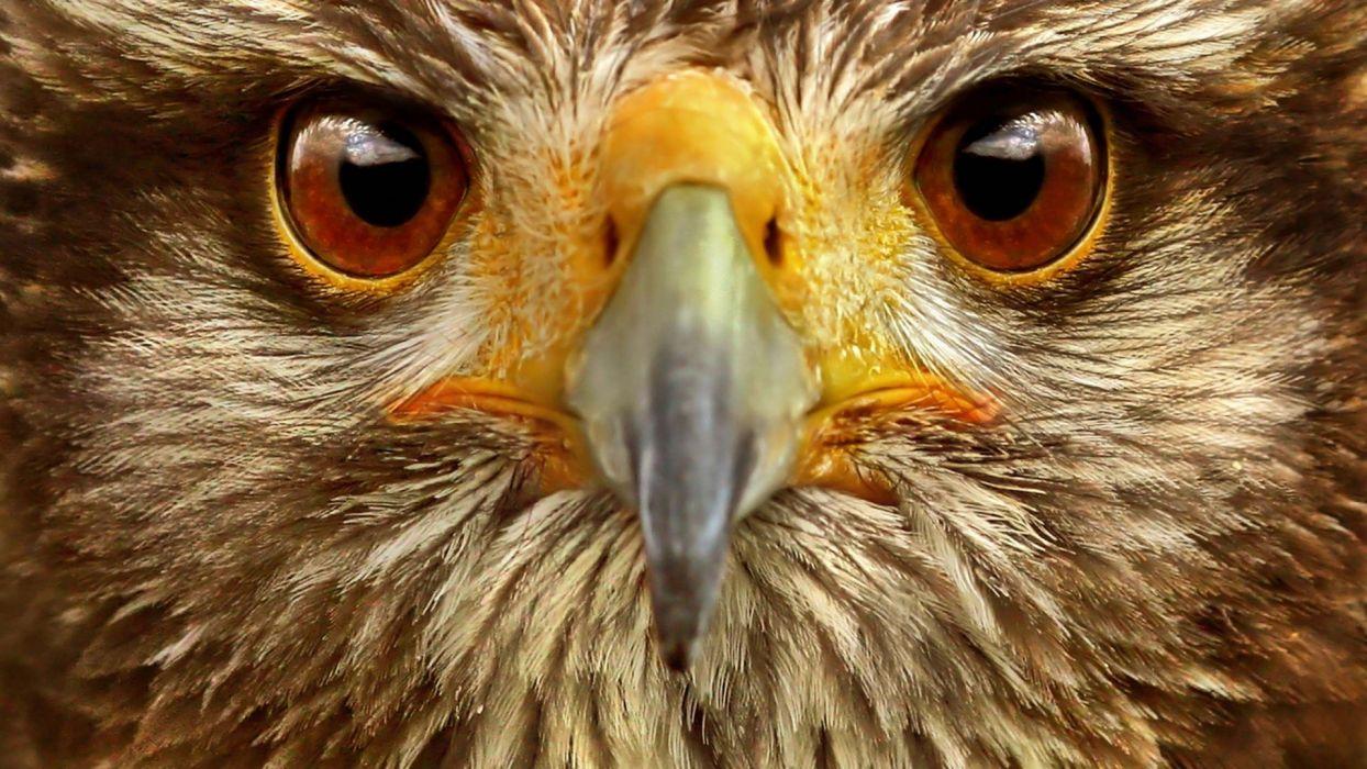 eagle hawk eyes wallpaper