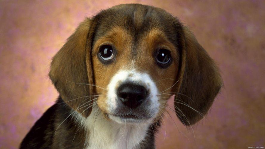 pechalka dog puppy wallpaper