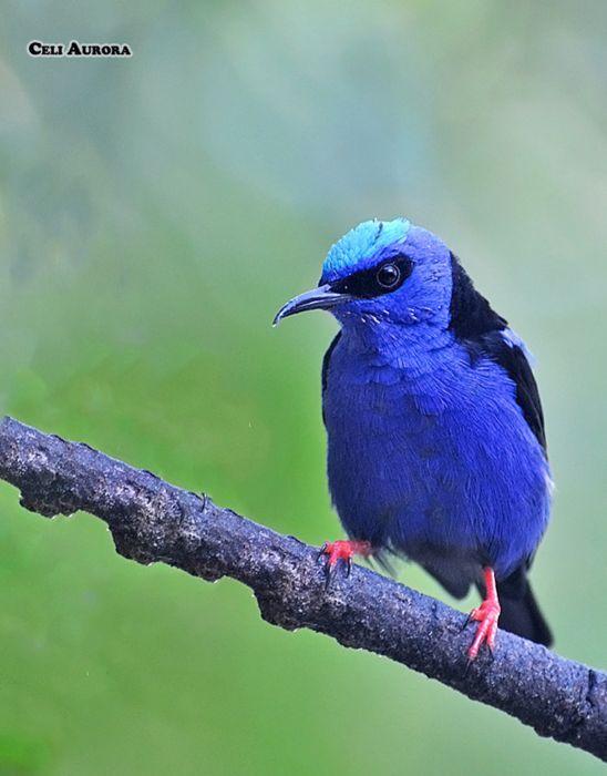 Brazilian wild birds Brazil Blue wallpaper
