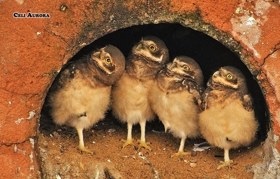 Brazilian wild birds Brazi wallpaper