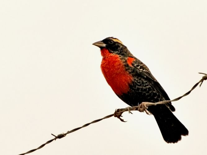 Brazilian wild birds Brazil Red wallpaper