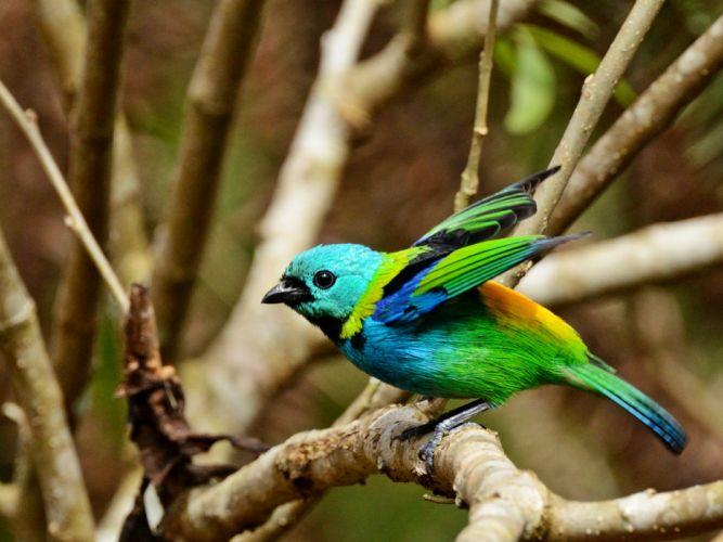 Brazilian wild birds Brazil wallpaper