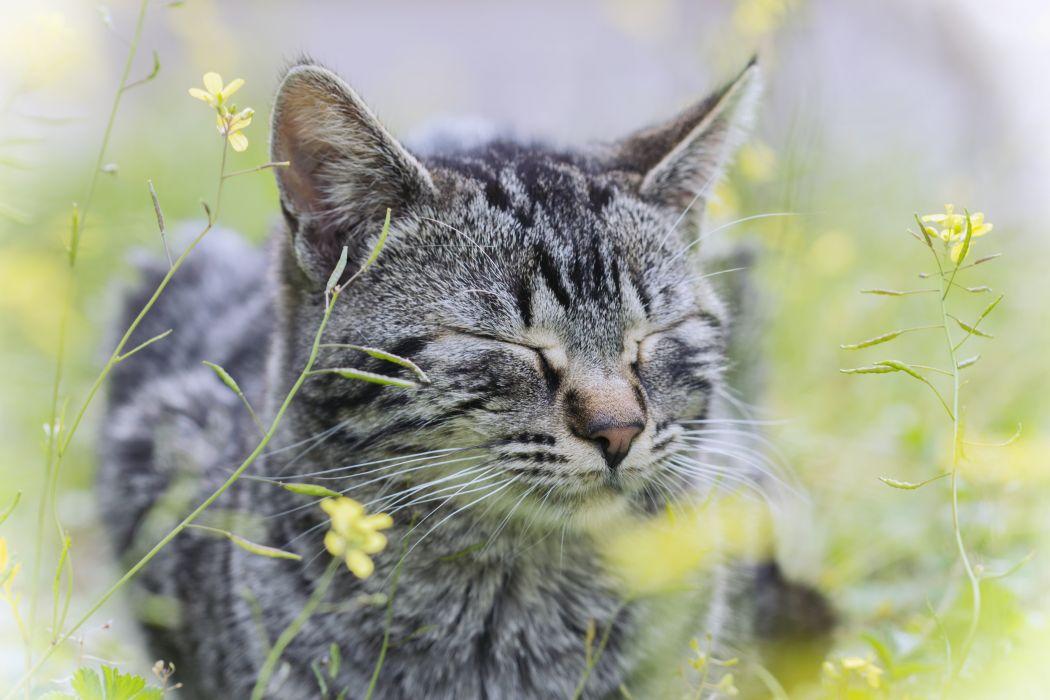 cat grass gray cat flowers wallpaper