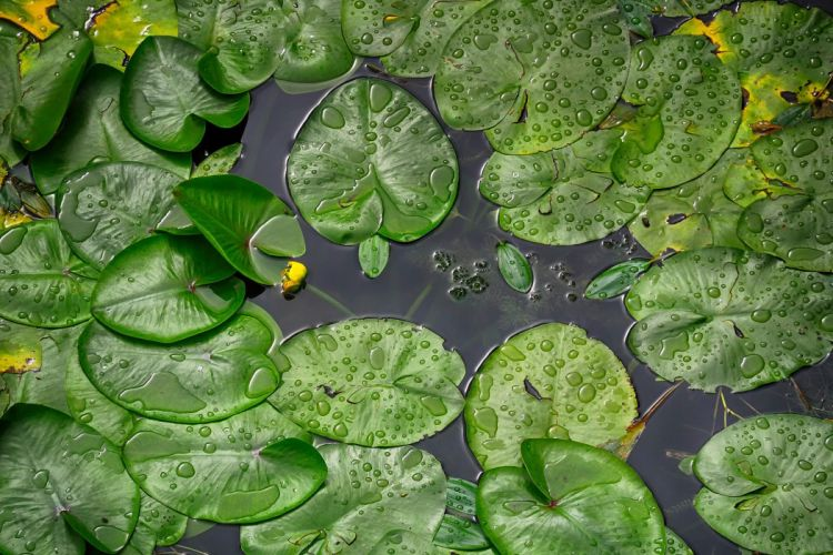 water lilies korana river drops rain wallpaper