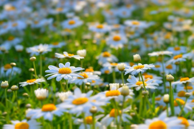 nature summer daisy bloom beauty wallpaper