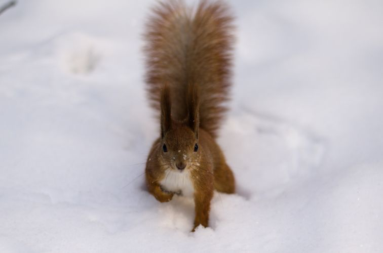 fluffy snow tail red squirrel winter wallpaper