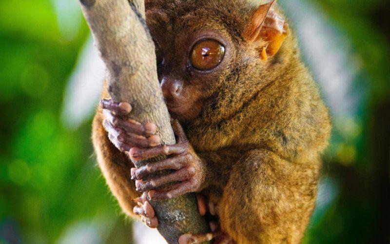 tarsiers genus primate eyes lamur wallpaper