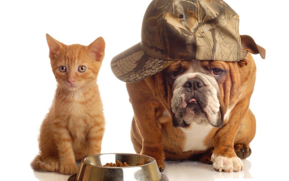cats animals dogs bulldog english bulldog wallpaper