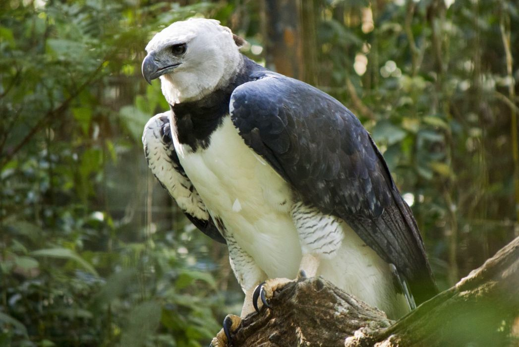 Bird-of-Prey Brazilian birds Brazil Harpia wallpaper