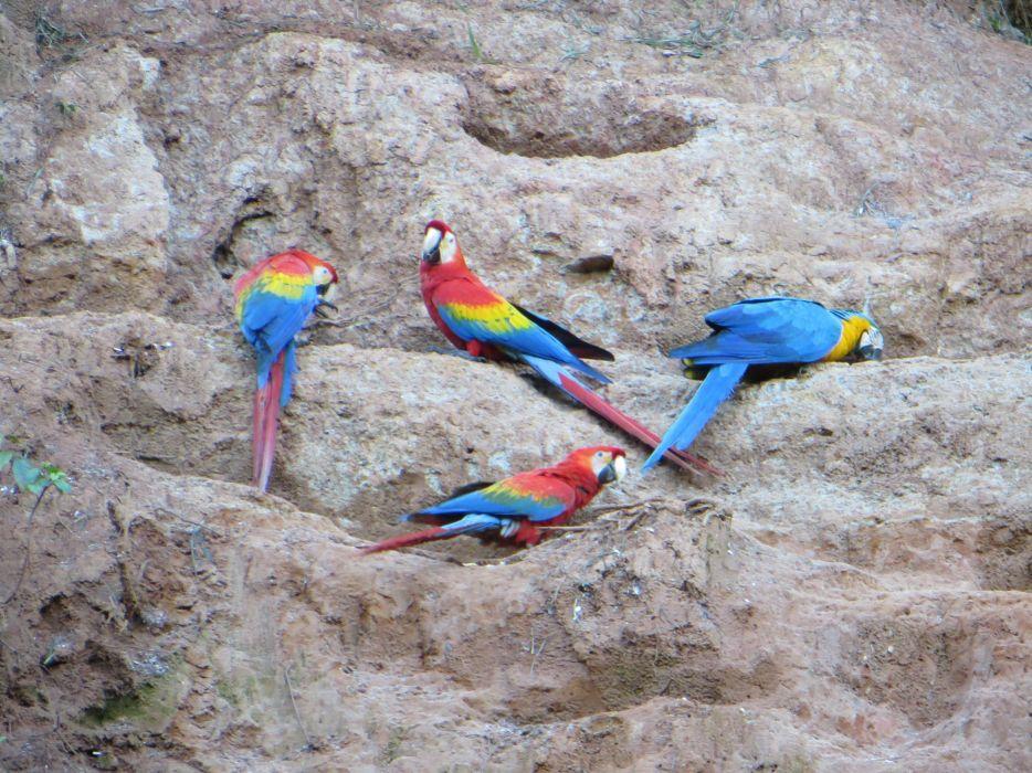 macaw parrot bird tropical (4) wallpaper