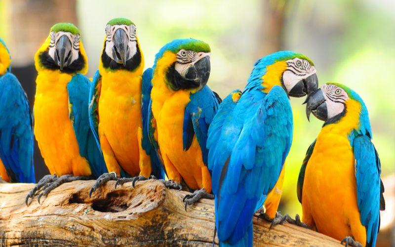 macaw parrot bird tropical (10) wallpaper