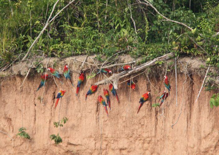macaw parrot bird tropical (5)_JPG wallpaper