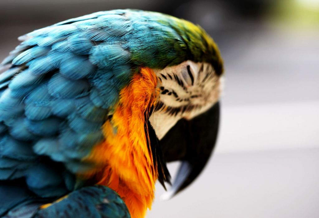 macaw parrot bird tropical (11) wallpaper