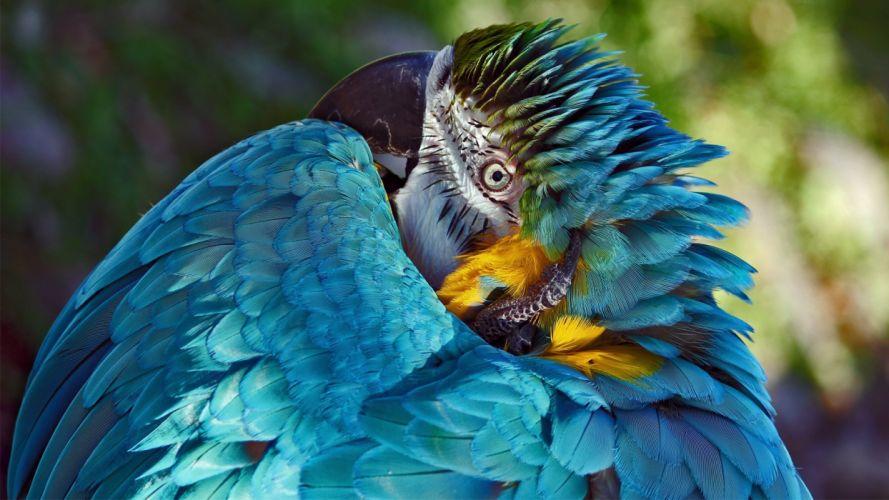 macaw parrot bird tropical (19) wallpaper