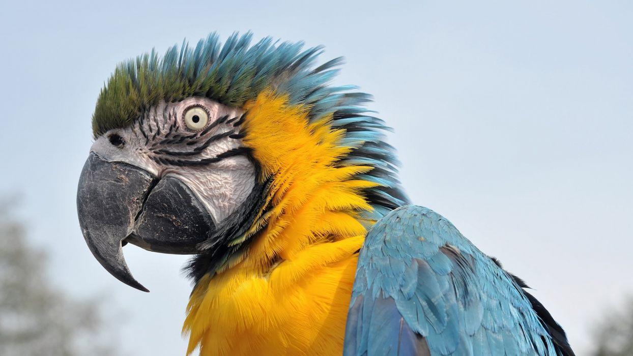 macaw parrot bird tropical (28) wallpaper