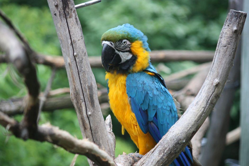 macaw parrot bird tropical (30) wallpaper