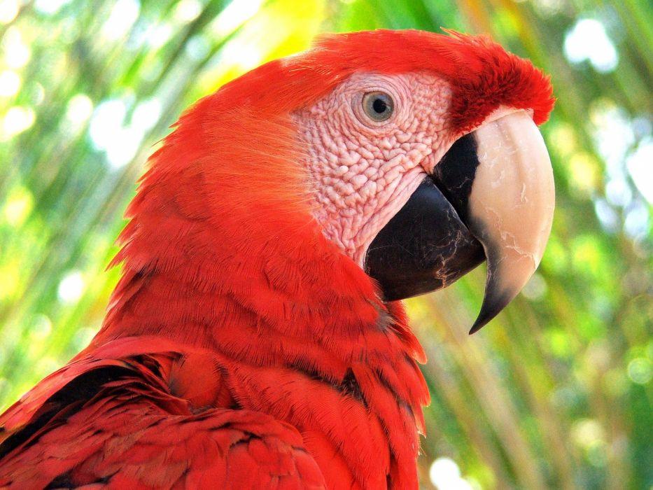 macaw parrot bird tropical (31) wallpaper