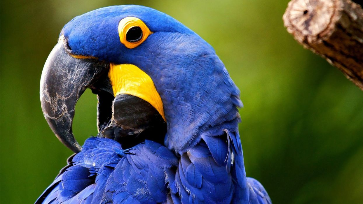 macaw parrot bird tropical (44) wallpaper
