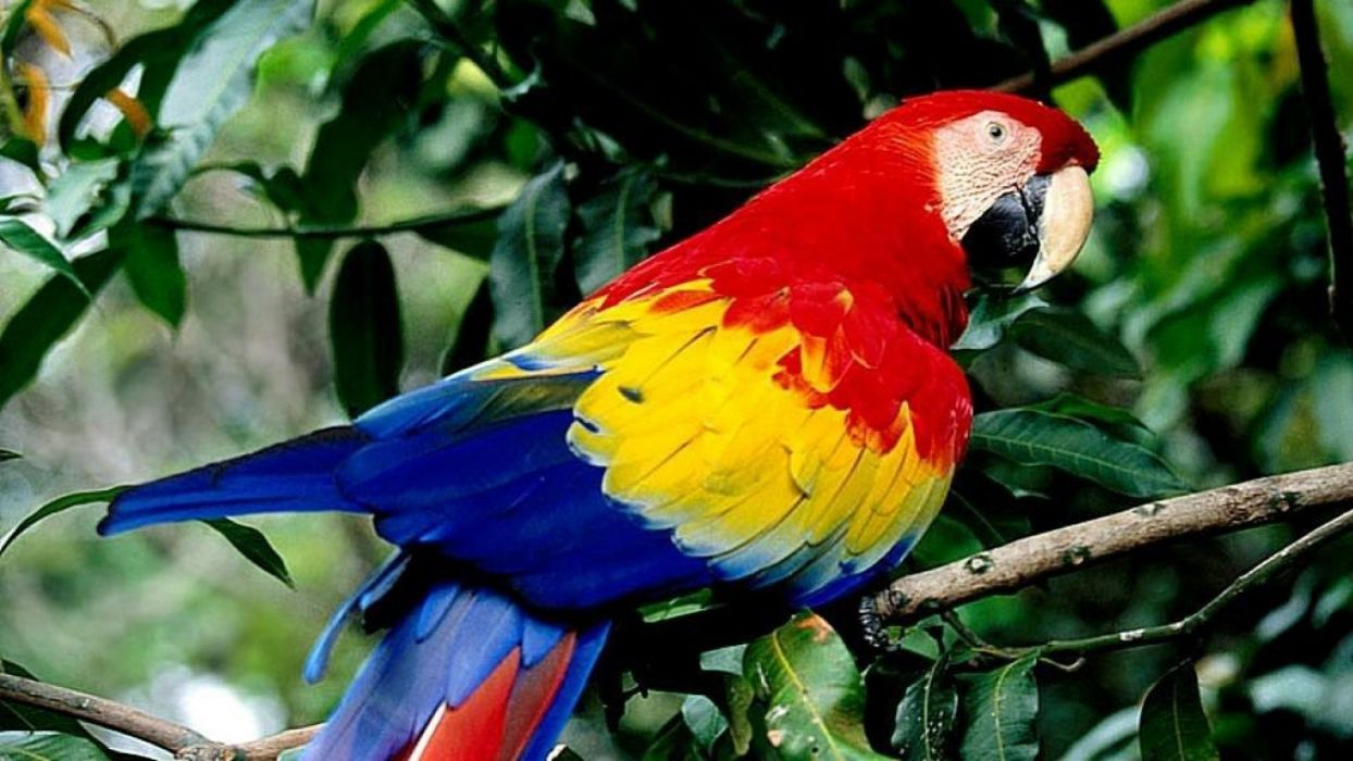 macaw parrot bird tropical (41) wallpaper