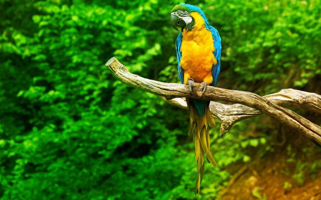 macaw parrot bird tropical (43) wallpaper