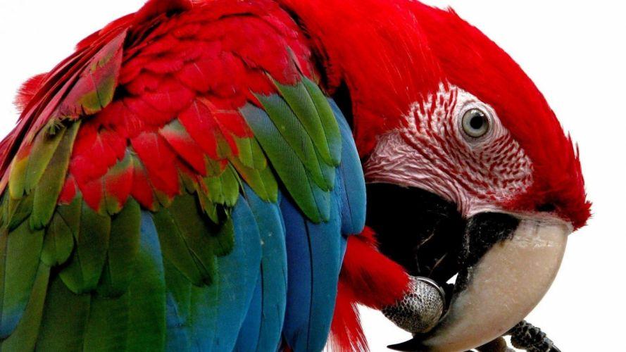 macaw parrot bird tropical (47) wallpaper