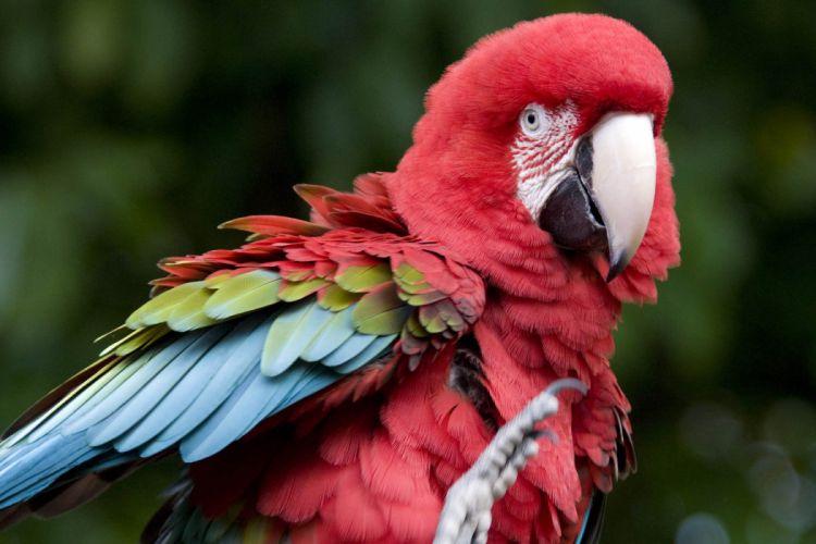 macaw parrot bird tropical (55) wallpaper