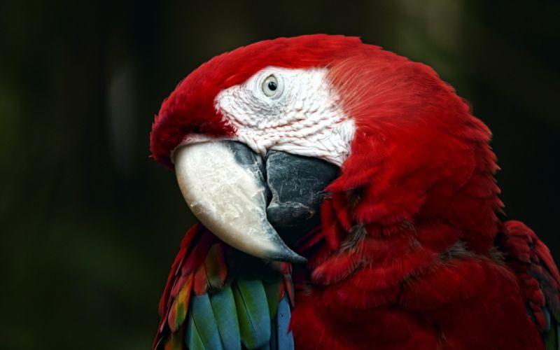 macaw parrot bird tropical (61) wallpaper