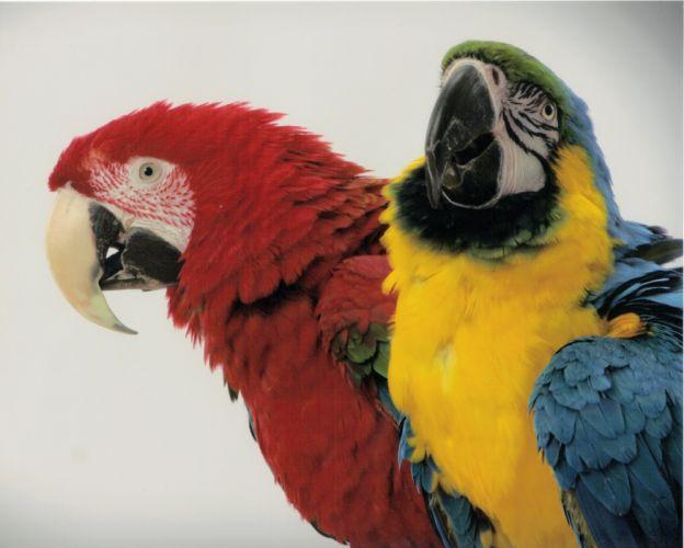 macaw parrot bird tropical (62)_JPG wallpaper