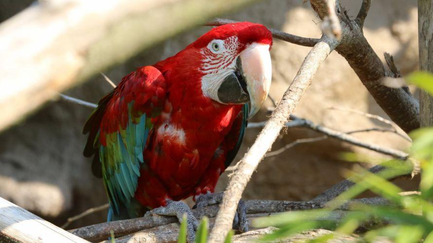 macaw parrot bird tropical (63) wallpaper