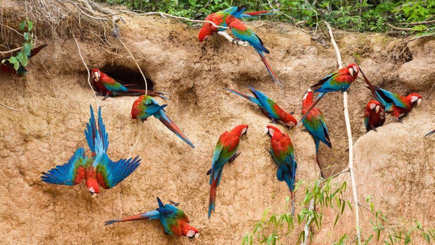 macaw parrot bird tropical (74) wallpaper