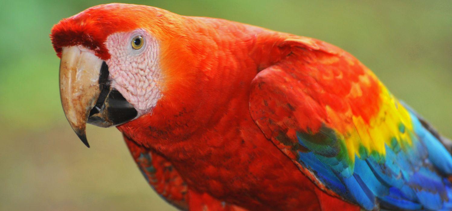 macaw parrot bird tropical (65) wallpaper