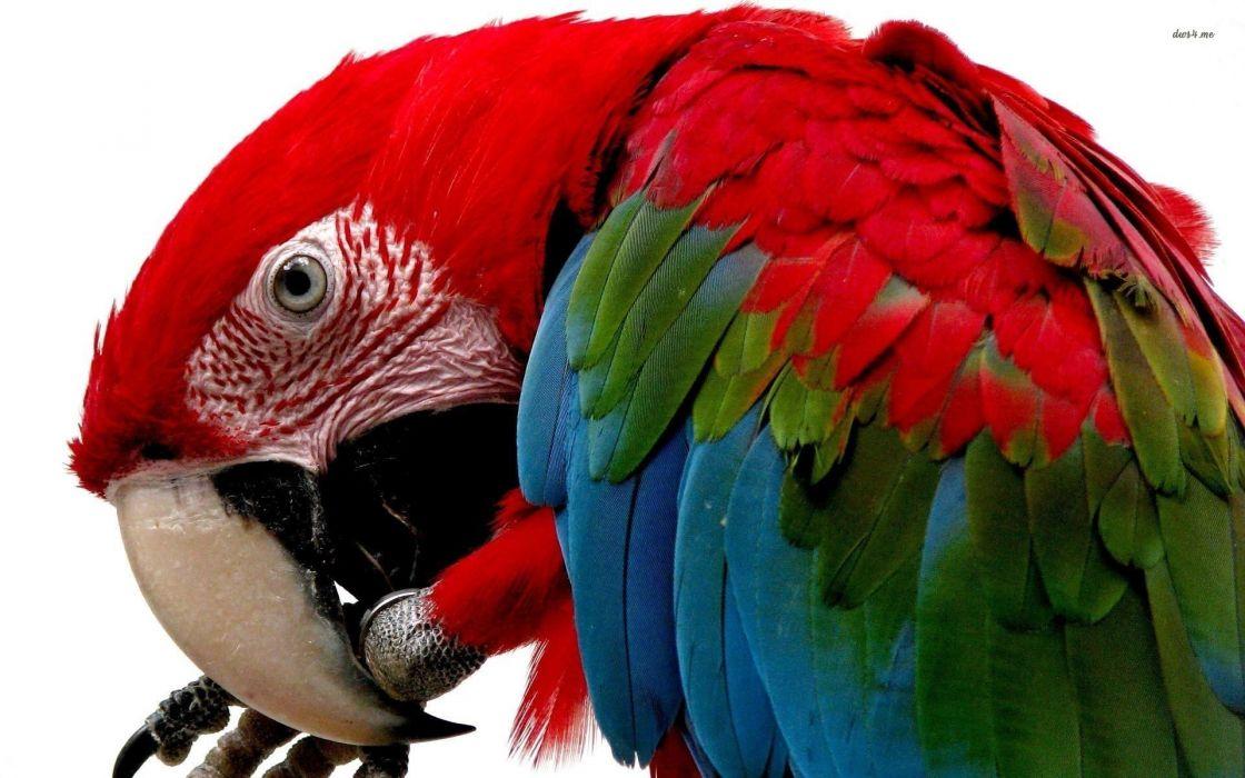 macaw parrot bird tropical (75) wallpaper