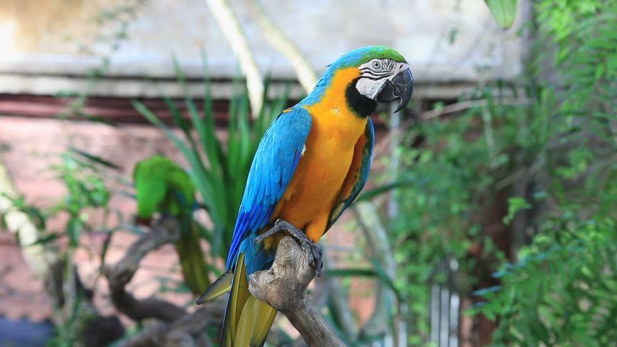 macaw parrot bird tropical (81) wallpaper