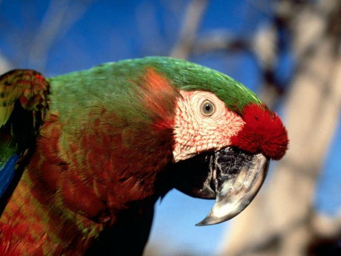 macaw parrot bird tropical (92) wallpaper