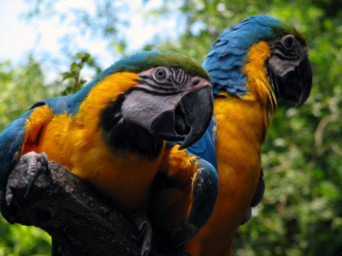 macaw parrot bird tropical (98) wallpaper