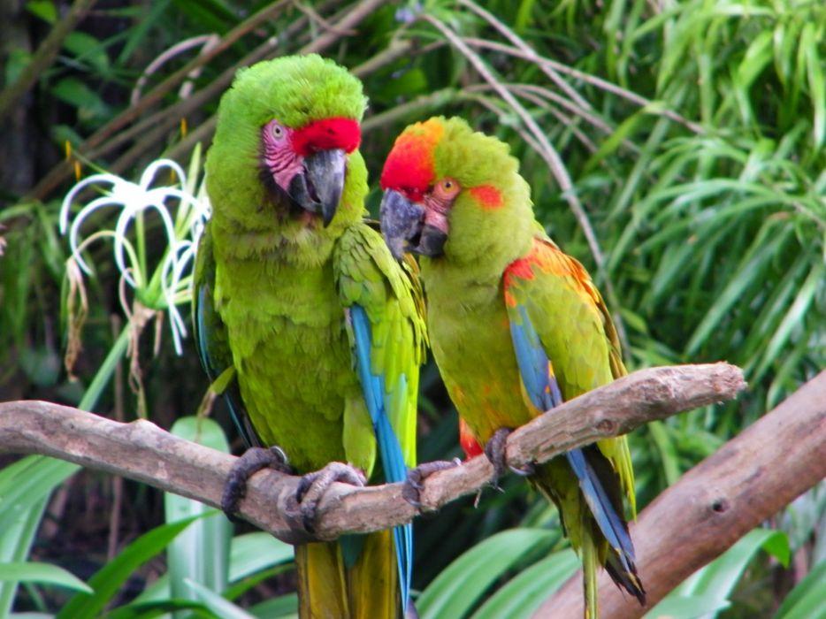 macaw parrot bird tropical (2) wallpaper