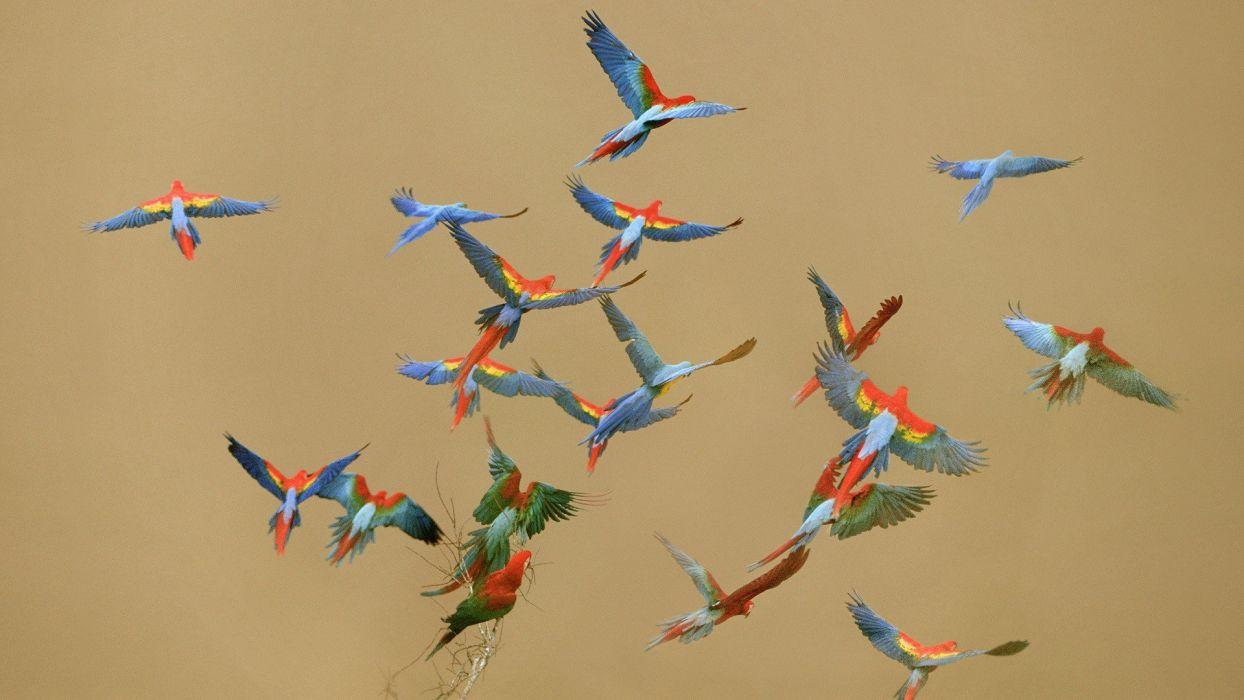 macaw parrot bird tropical (9) wallpaper