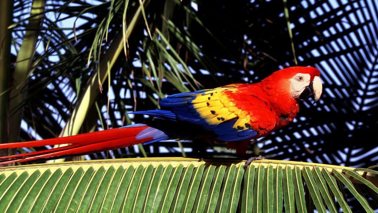 macaw parrot bird tropical (8) wallpaper